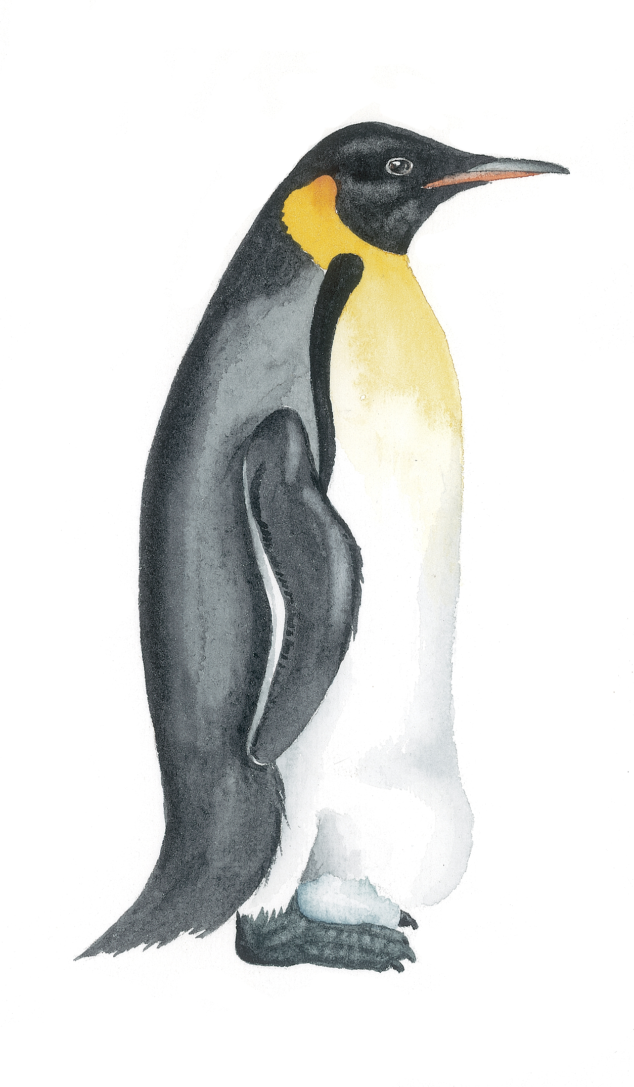 How to draw a penguin: master class 62